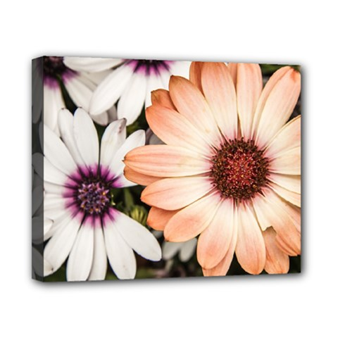 Beautiful Colourful African Daisies Canvas 10  X 8  by OZMedia